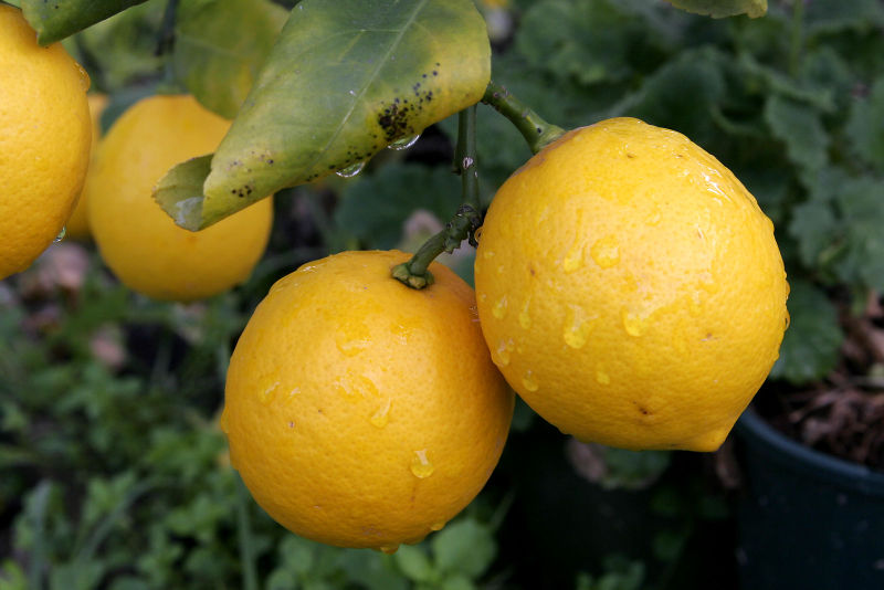 Lemon Picker | Andelino's Weblog