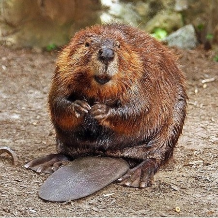 Beaver Fever 00