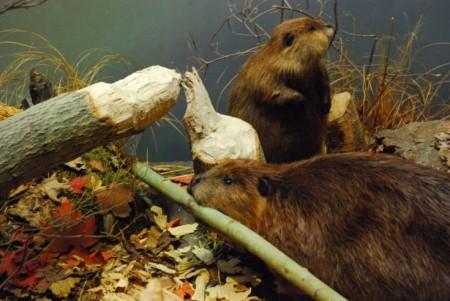 Beaver Fever 06