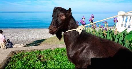 Goat Obama 02
