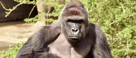 gorilla-news-02